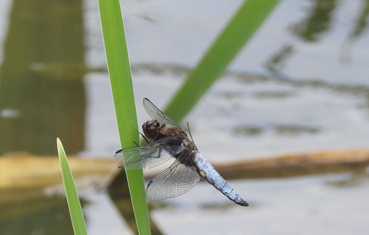 Broad-bodied chaser at Broomhill Flash nature reserve